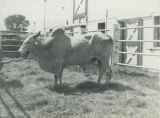 Brahman Bull at State Fair