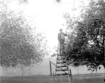 Cornfalfa Farms; Apple Production 027: Picking apples from a mobile ladder