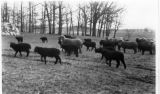 Cornfalfa Farms; Sheep 74: Flock of sheep
