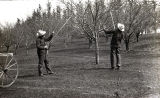 Cornfalfa Farms; Apple Production 029: Pruning apple trees in the Swartz orchard