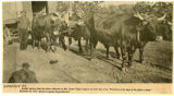 Man with a Team of 4 Oxen in Yokes pulling a Wagon, ca. 1908